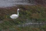 Little Egret, Loch of Tingwall-Mainland, Shetland