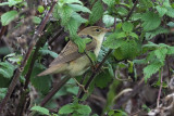 Marsh Warbler, Sumburgh Quarry-Mainland, Shetland