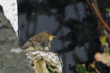 Melodious Warbler, Lunna-Mainland, Shetland