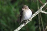 Pied Flycatcher, Swinning-Mainland, Shetland
