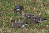 Pink-footed Goose, Loch of Brow-Mainland, Shetland