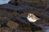 Ringed Plover (juvenile), Leebotten-Mainland, Shetland