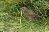 River Warbler, Baliasta-Unst, Shetland