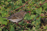 Common Rosefinch, Leebotten-Mainland, Shetland