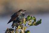 Starling, Grutness-Mainland, Shetland