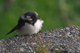 Swallow (juvenile), Quendale-Shetland