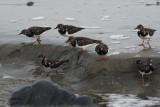 Turnstone, Lunda Wick-Unst, Shetland