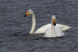 Whooper Swan, Uyeasound-Unst, Shetland