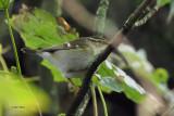 Yellow-browed Warbler, Halligarth-Unst, Shetland