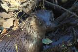 Otter, RSPB Loch Lomond