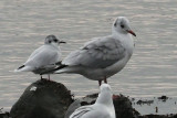 Little Gull & Black-headed Gull, Cardwell Bay-Gourock, Clyde