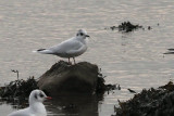 Little Gull, Cardwell Bay-Gourock, Clyde