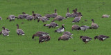 Greenland White-fronted, Barnacle and Pink-footed Geese, near Croftamie, Clyde