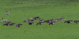 Greenland White-fronted & Pink-footed Geese, near Croftamie, Clyde