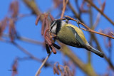 Blue Tit, Burn of Mar-Loch Lomond, Clyde
