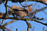 Long-tailed Tit, Burn of Mar-Loch Lomond, Clyde