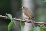 White-browed Bulbul, Kithulgala, Sri Lanka