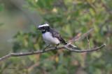 White-browed Fantail, Yala NP, Sri Lanka