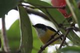 White-throated Flowerpecker. Kithulgala, Sri Lanka