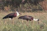 Wooly-necked Stork, Yala NP, Sri Lanka