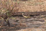 Yellow Wagtail, Yala NP, Sri Lanka