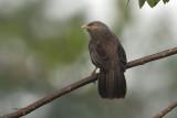 Yellow-billed babbler, Sinharaja NP, Sri Lanka