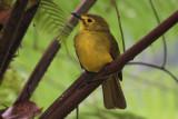 Yellow-browed Bulbul, Sinharaja NP, Sri Lanka