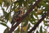 Yellow-crowned Woodpecker, Uda Walawe NP, Sri Lanka