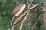 Yellow-eyed Babbler, Uda Walawe NP, Sri Lanka
