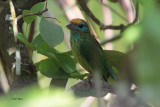 Yellow-fronted Barbet, Kithulgala, Sri Lanka