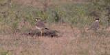 Yellow-wattled Lapwing, Uda Walawe NP, Sri Lanka