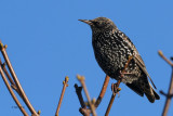 Starling, Ardmore Point, Clyde