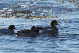 Hybrid Wigeon, Ardmore Point, Clyde