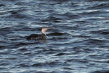 Red-throated Diver, Ardmore Point, Clyde