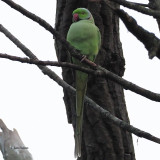 Ring-necked (or Rose-ringed) Parakeet