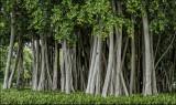 Banyon Tree Grove