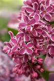 Lilac called Sensation
