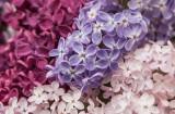 Pink & Purple Lilacs