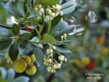 662-Strawberry tree - Arbustus unedo - Arbousier