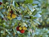 663-Strawberry tree - Arbustus unedo - Arbousier