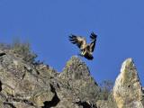Griffon Vulture - Gyps fulvus - Vautour fauve