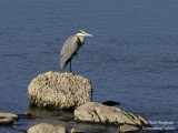 Grey Heron (Ardea cinerea) and Western Great Egret (Ardea alba)
