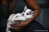White Pomsky puppy