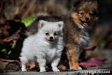 Tiny Teacup male Pomsky puppy