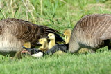 Goslings with Parents
