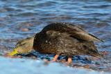 Superior Black Duck