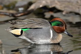 Green Wing Teal 2