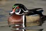 Drake Wood Duck 2