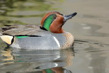 Green Wing Teal 3