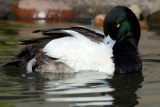 Greater Scaup 2